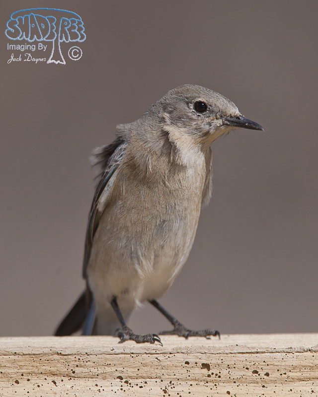 Mountain Bluebird - Sialia currucoides