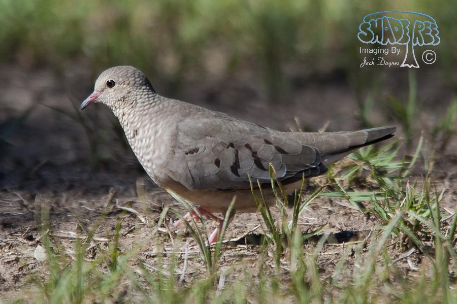 Common Ground-Dove - Columbina passerina