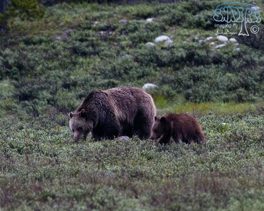 North American Brown Bear - Ursus arctos ssp.