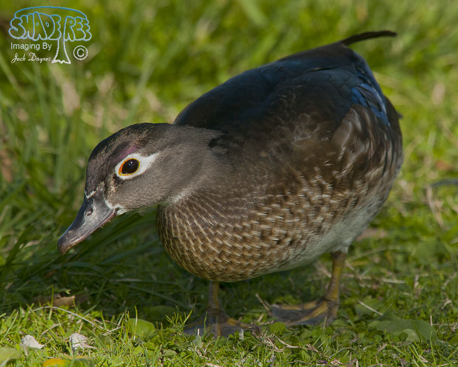 Wood Duck - Aix sponsa