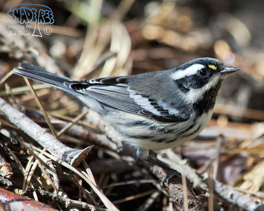 Black-Throated Gray Warbler - Dendroica nigrescens