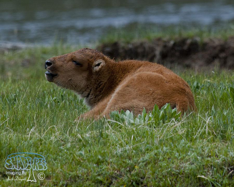 American Bison - Bison bison
