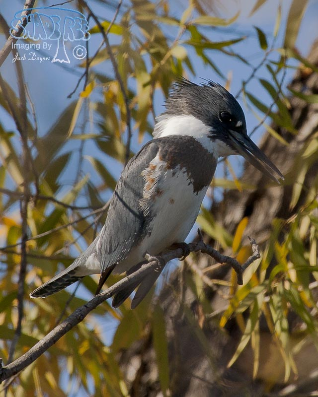 Belted Kingfisher - Ceryle alcyon