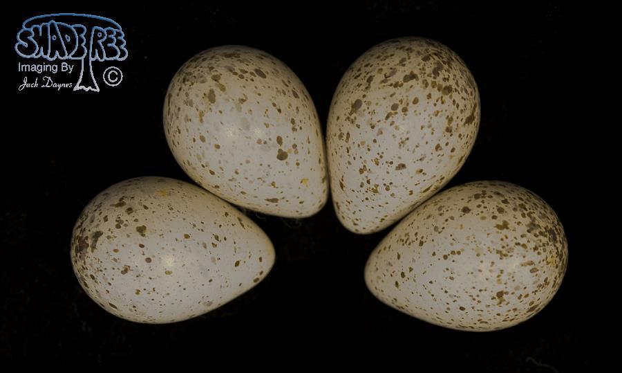 Upland Sandpiper - Bartramia longicauda