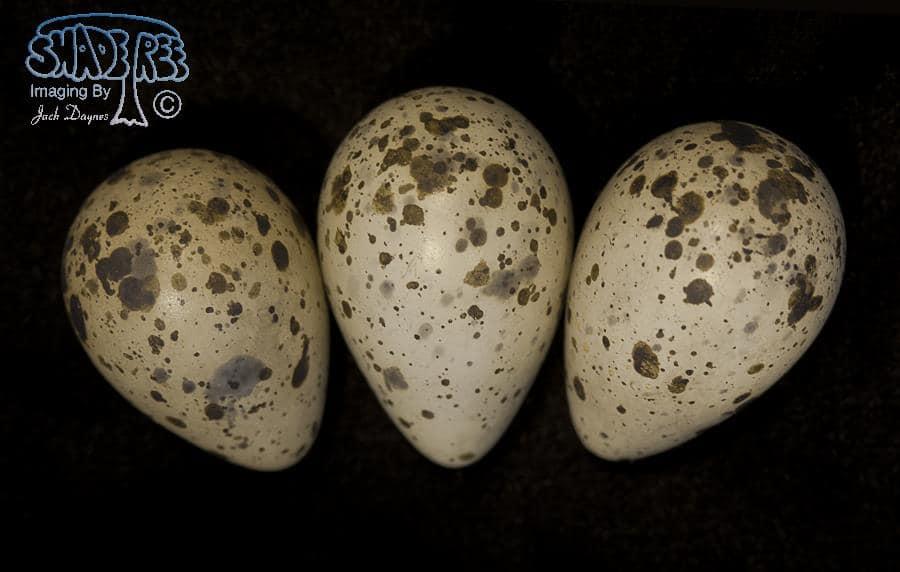 Willet - Catoptrophorus semipalmatus