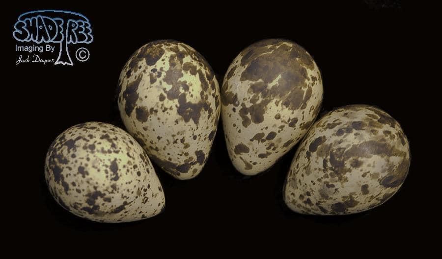 Museum Eggs (Red Phalarope) - Phalaropus fulicarius