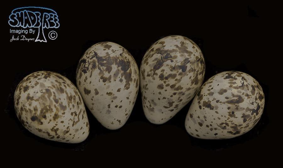 Short-billed Dowitcher - Limnodromus griseus