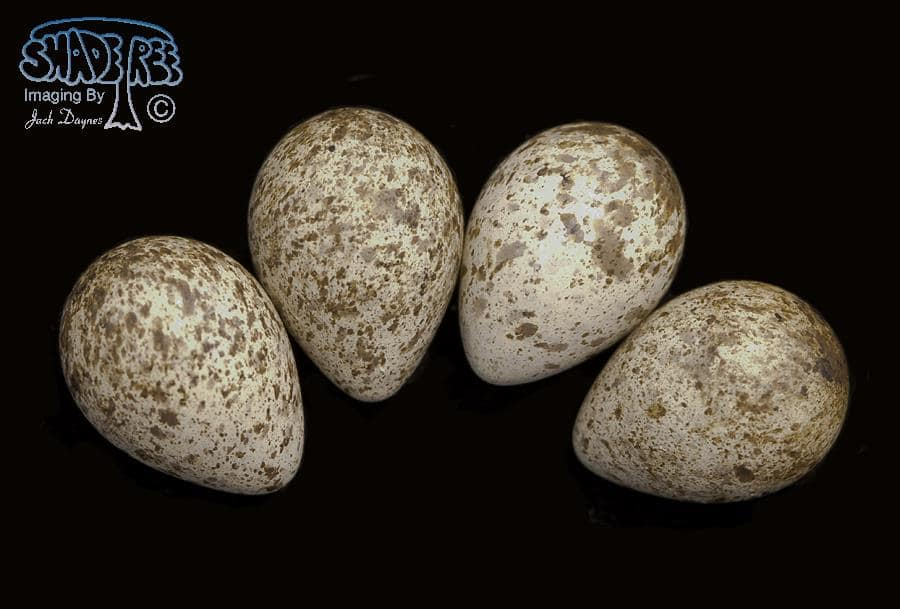 Baird's Sandpiper - Calidris bairdii