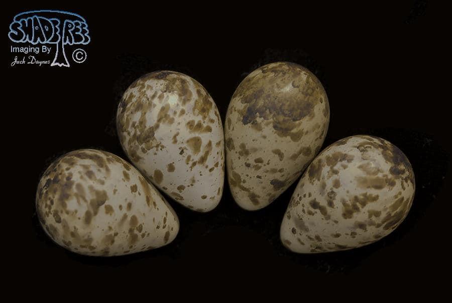 Dunlin - Calidris alpina