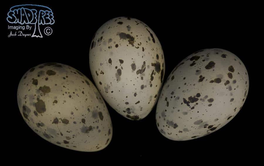 Glaucous-winged Gull - Larus glaucescens