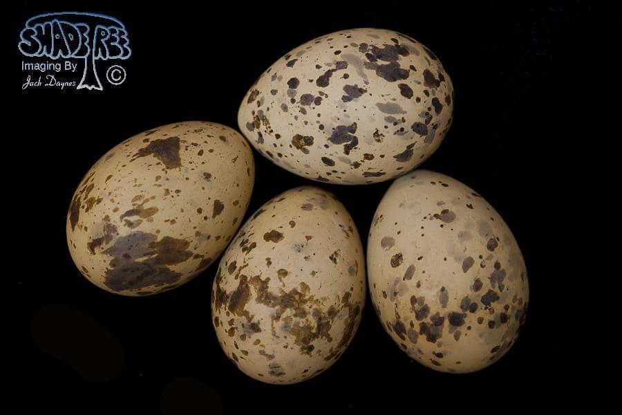 Gull-billed Tern - Gelochelidon nilotica