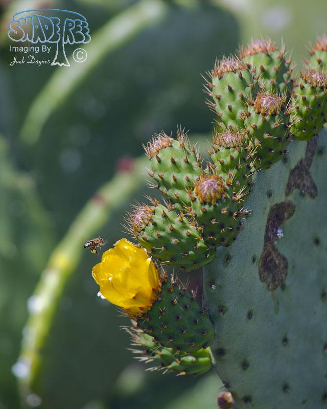 Wheel Cactus - Opuntia robusta