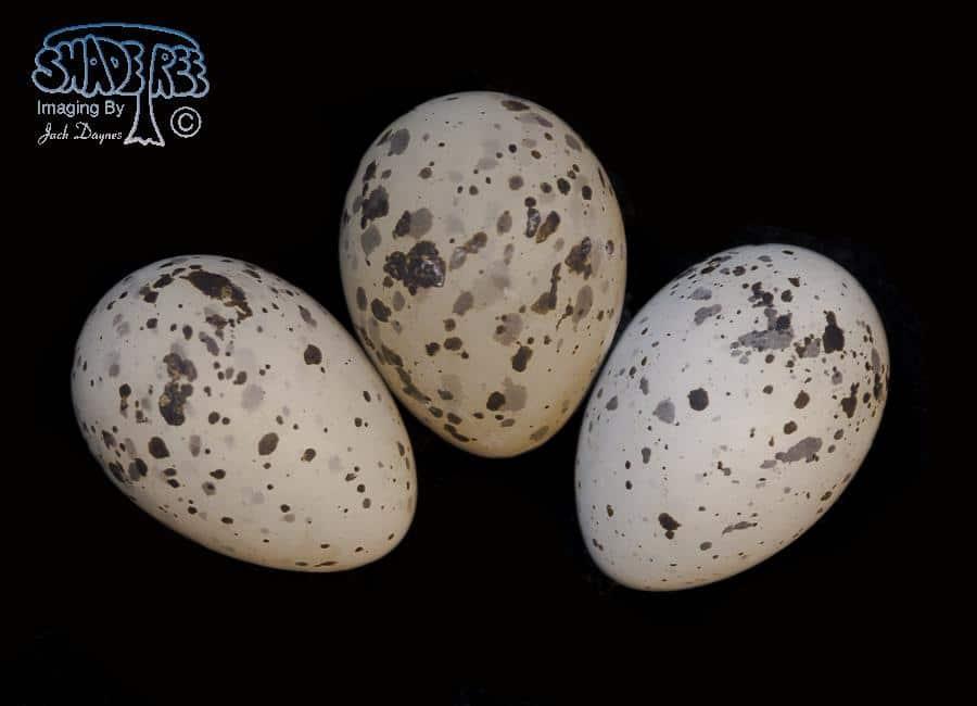 Common Tern - Sterna hirundo