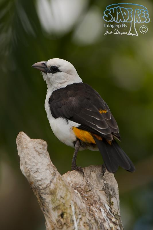 White-Headed Buffalo Weaver - Dinemellia dinemelli