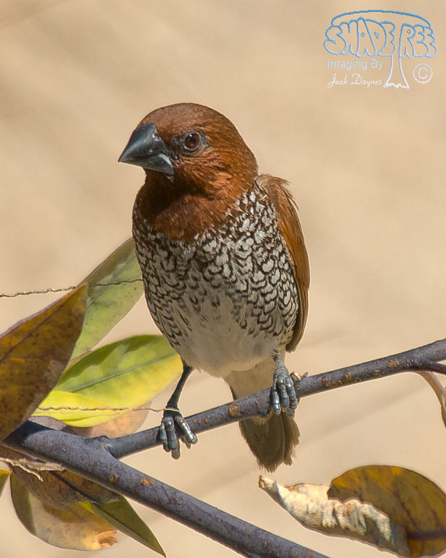 Scaly-Breasted-Munia - Lonchura punctulata