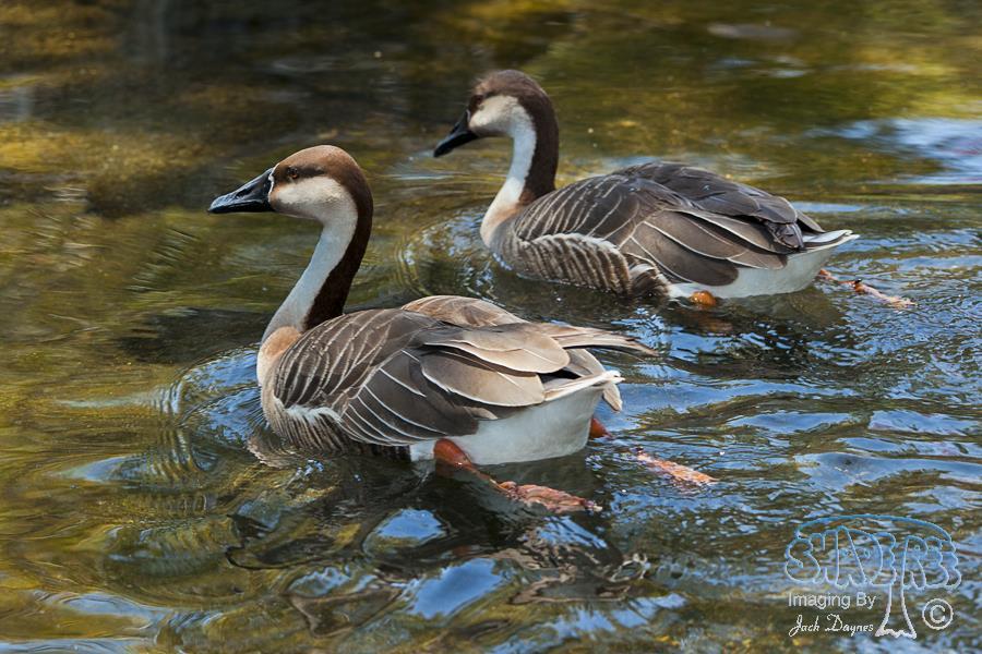 Swan Goose - Anser cygnoides