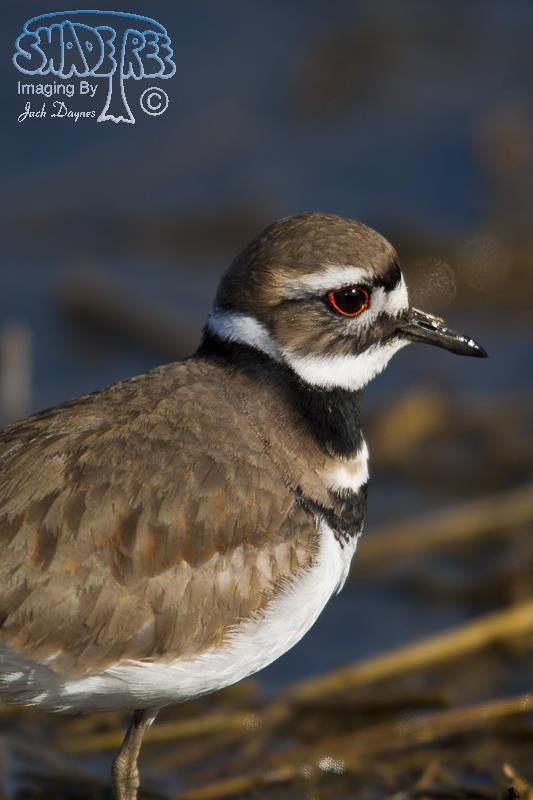 Killdeer - Himantopus mexicanus