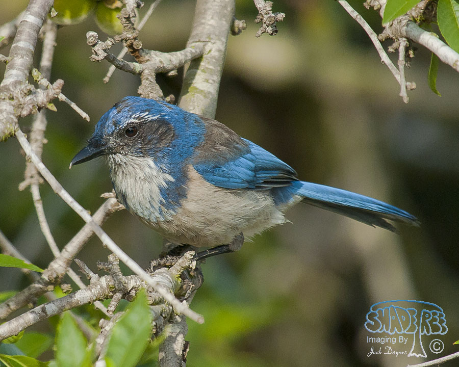 California Scrub-Jay - Aphelocoma californica