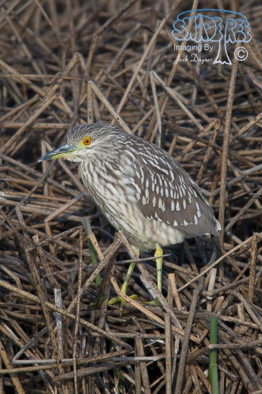 Black-Crowned Night-Heron - Nycticorax nycticorax