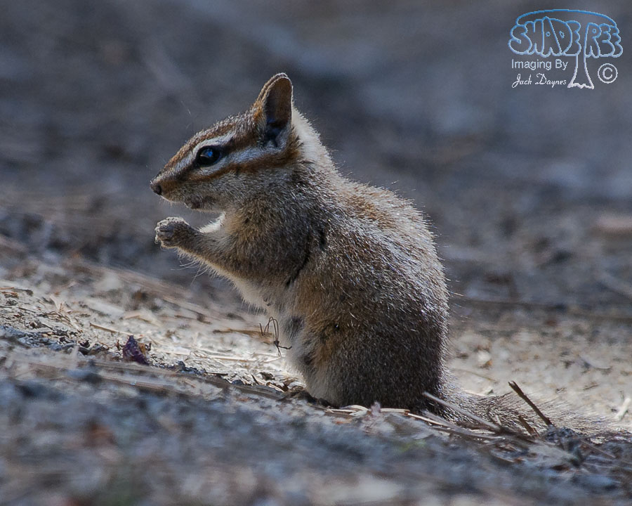 California Chipmunk - Neotamias obscurus