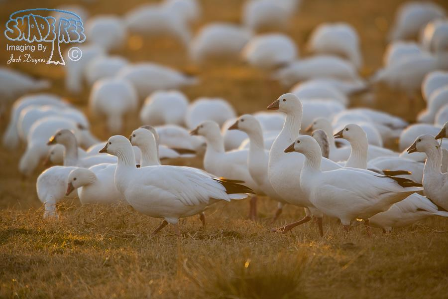 Ross's Goose - Chen rossii