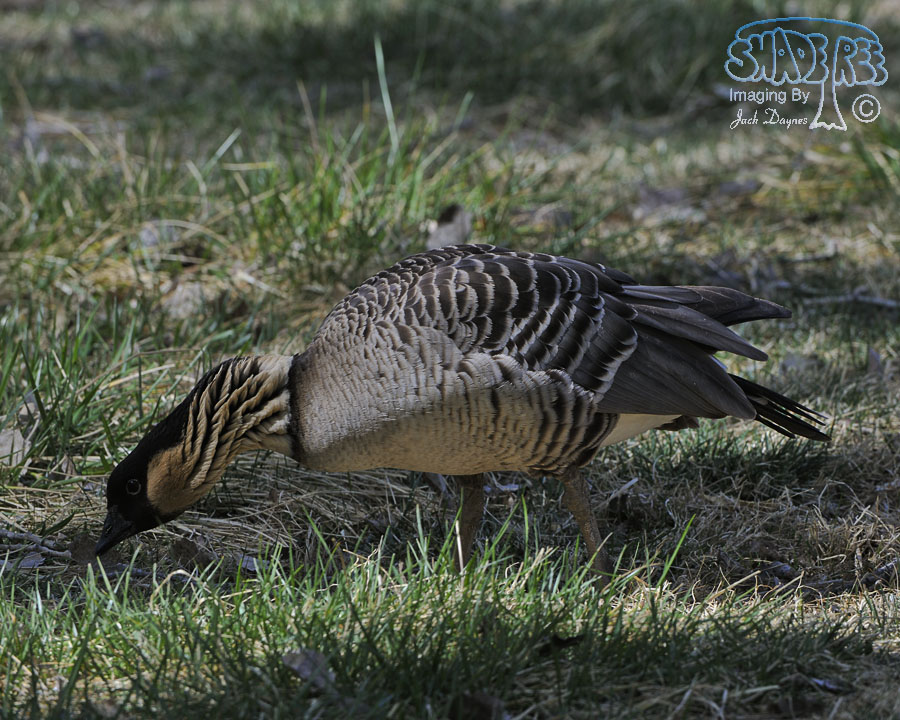 Hawaiian Goose - Branta sandvicensis