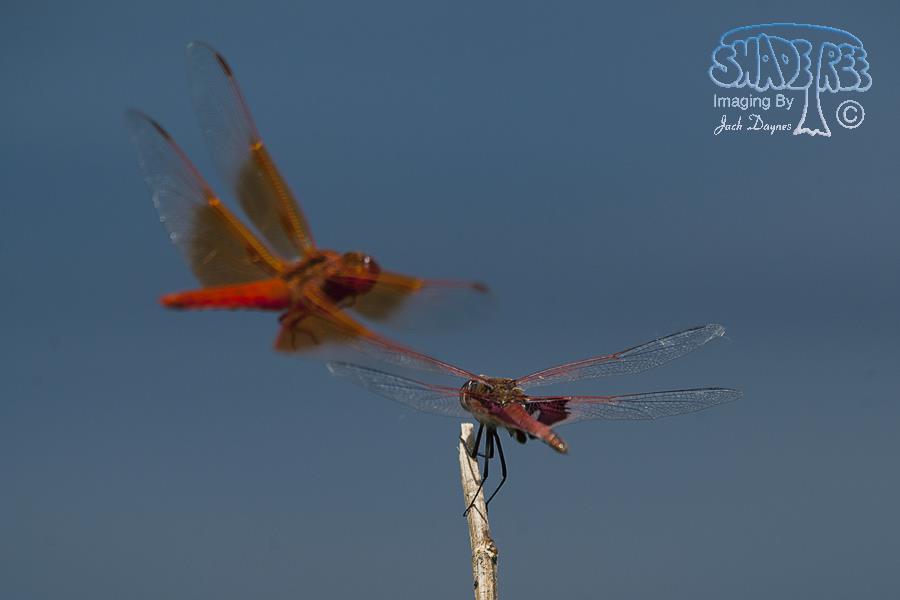 Flame Skimmer - Libellula saturata