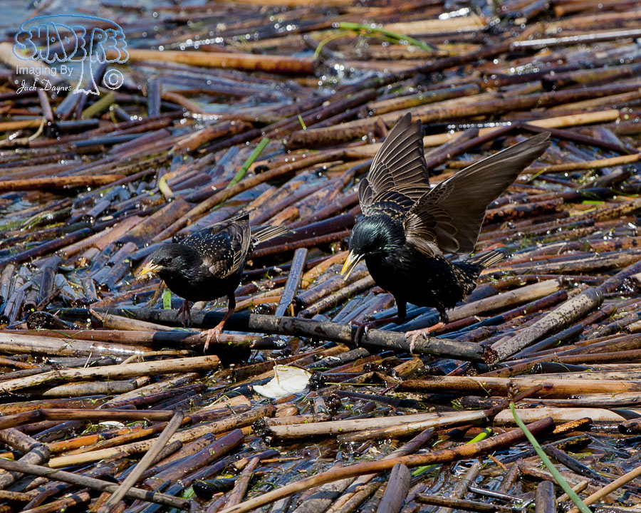 European Starling - Sturnus vulgaris