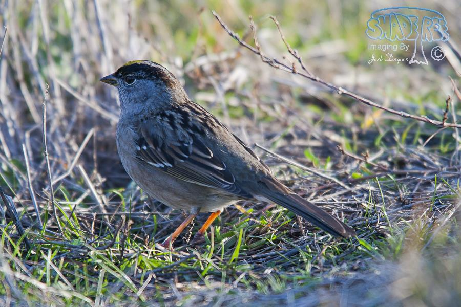 Golden-Crowned Sparrow - Zonotrichia atricapilla