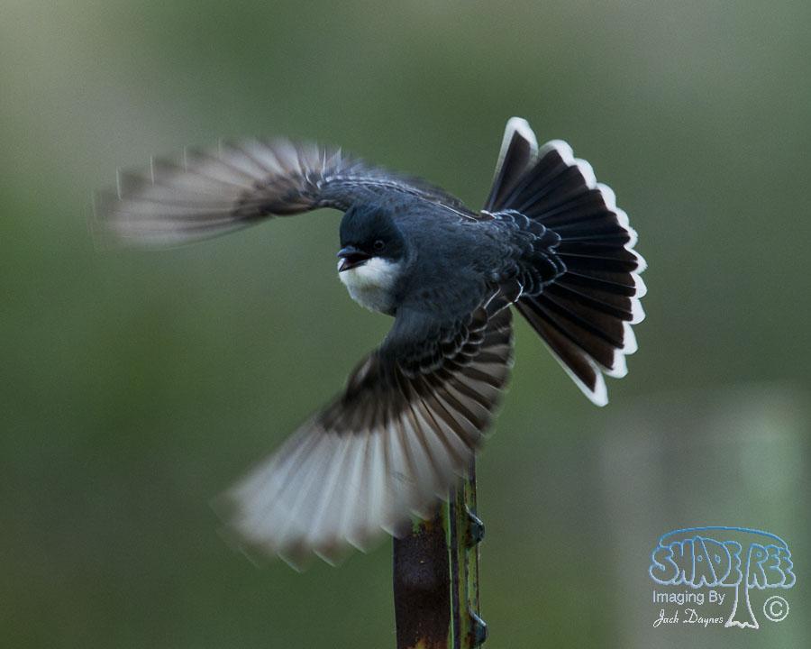 Eastern Kingbird - Empidonax wrightii