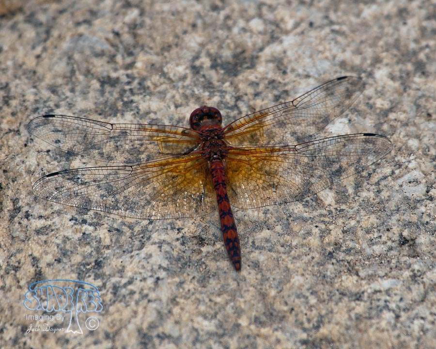 Red Rock Skimmer - Paltothemis lineatipes