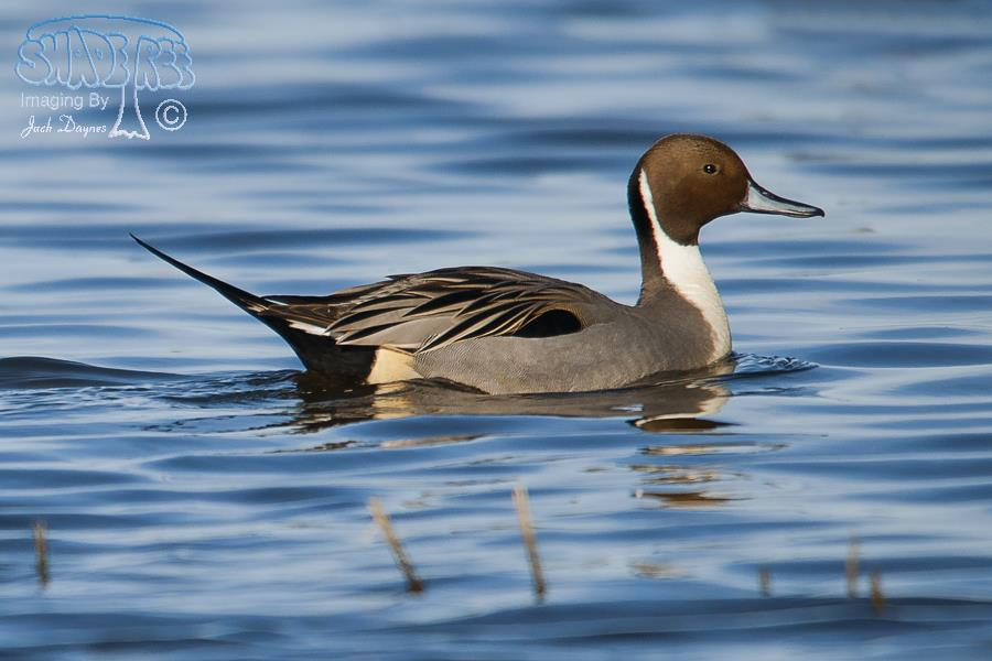 Northern Pintail - Anas acuta