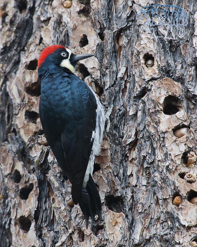 Acorn Woodpecker - Melanerpes formicivorus