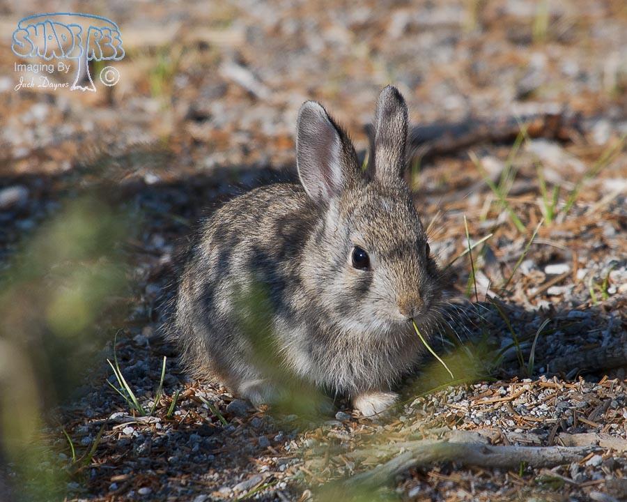 Pygmy Rabbit - Brachylagus idahoensis