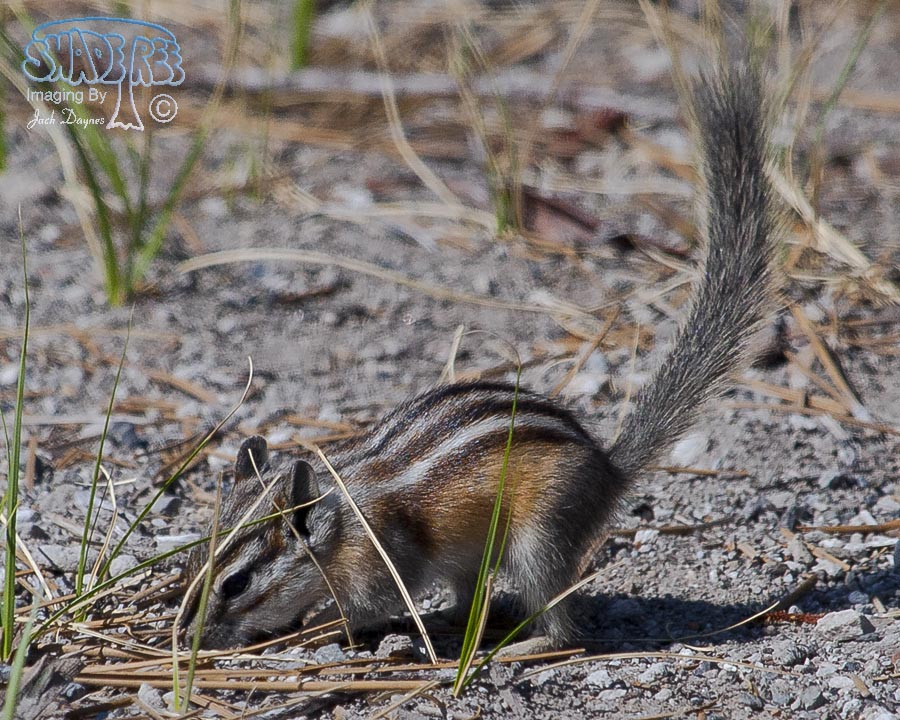 Chipmunk - Tamias sp.