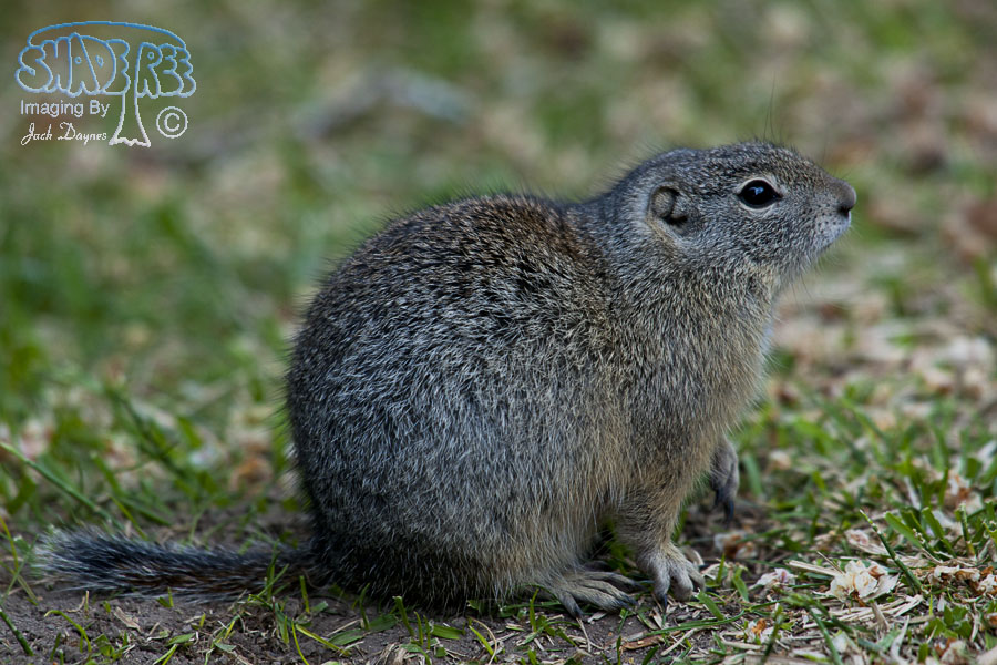 Belding's Ground Squirrel - Urocitellus beldingi