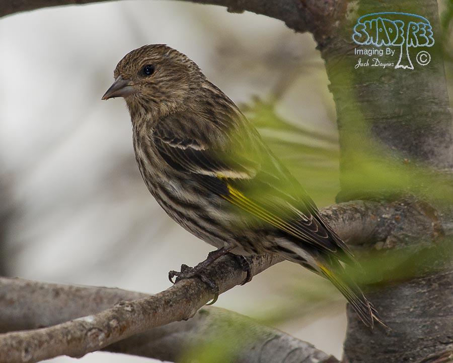 Pine Siskin - Carduelis pinus