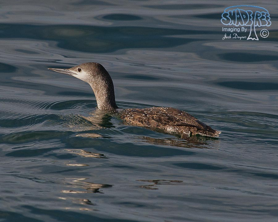 Red-Throated Loon - Gavia stellata