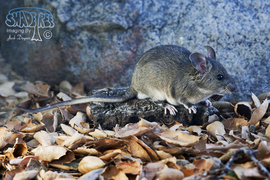 Big-Eared Woodrat - Neotoma macrotis