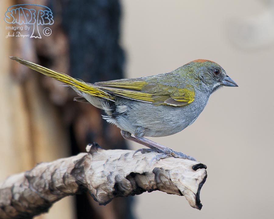 Green-Tailed Towhee - Pipilo chlorurus