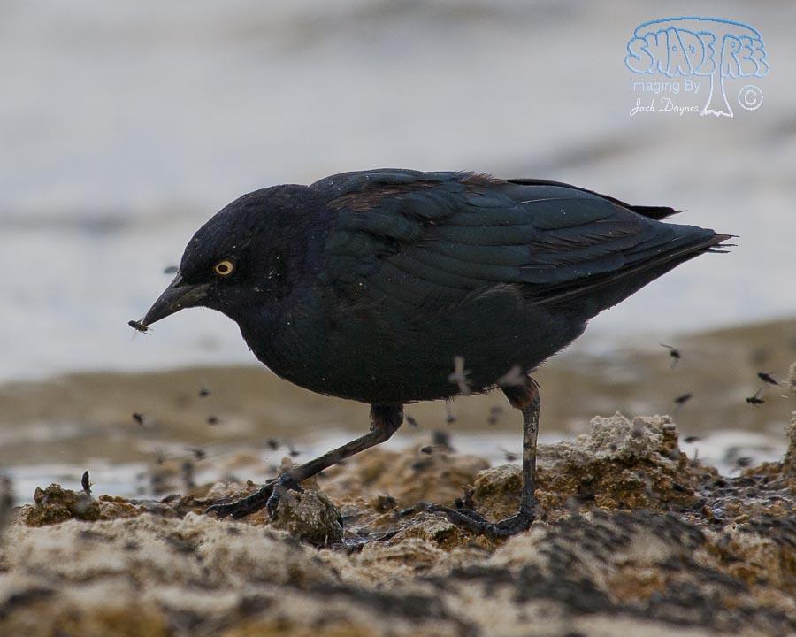 Brewer's Blackbird - Euphagus cyanocephalus