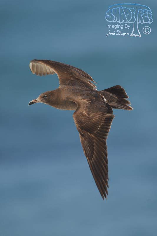 Heermann's Gull - Larus heermanni