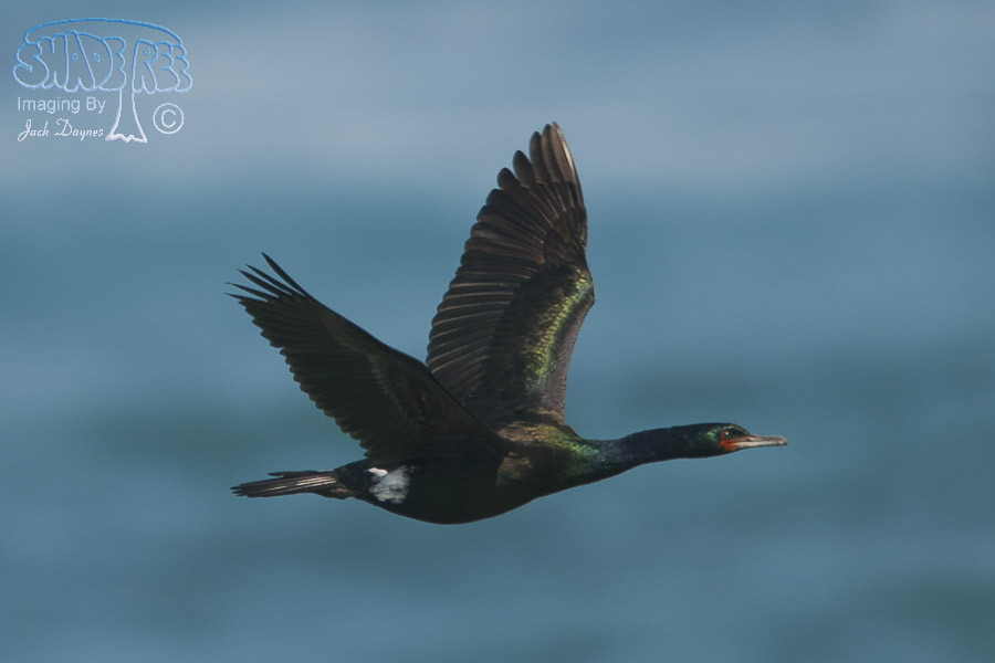 Pelagic Cormorant - Phalacrocorax pelagicus