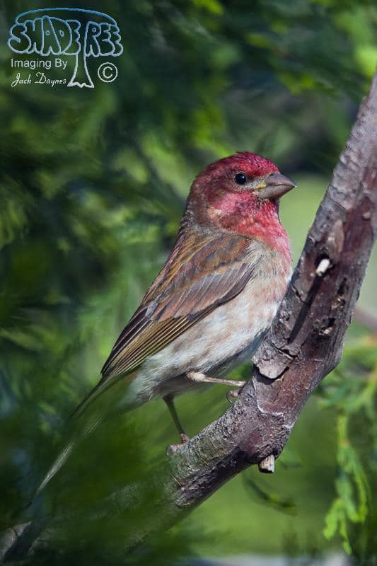 Purple Finch - Carpodacus purpureus