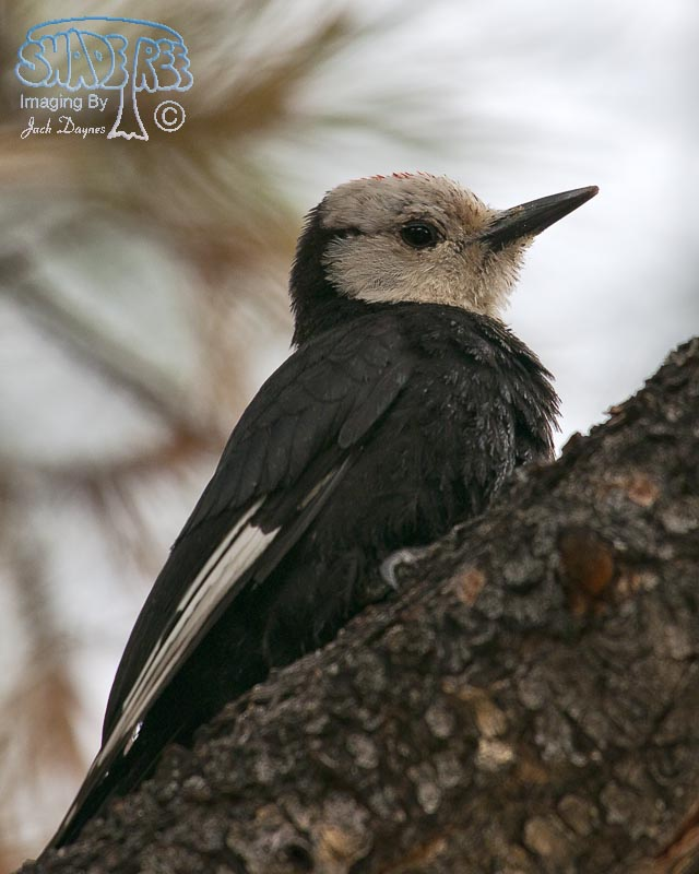 White-Headed Woodpecker - Leuconotopicus albolarvatus