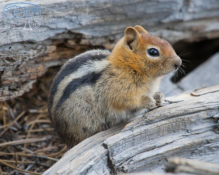 Golden-Mantled Ground Squirrel - Callospermophilus lateralis