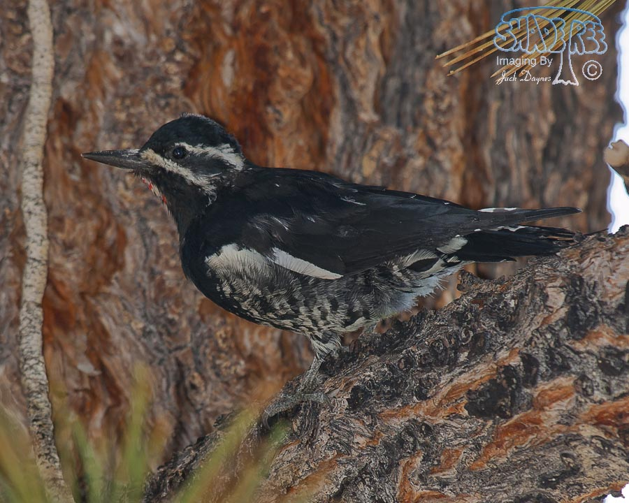 Williamson's Sapsucker - Sphyrapicus thyroideus