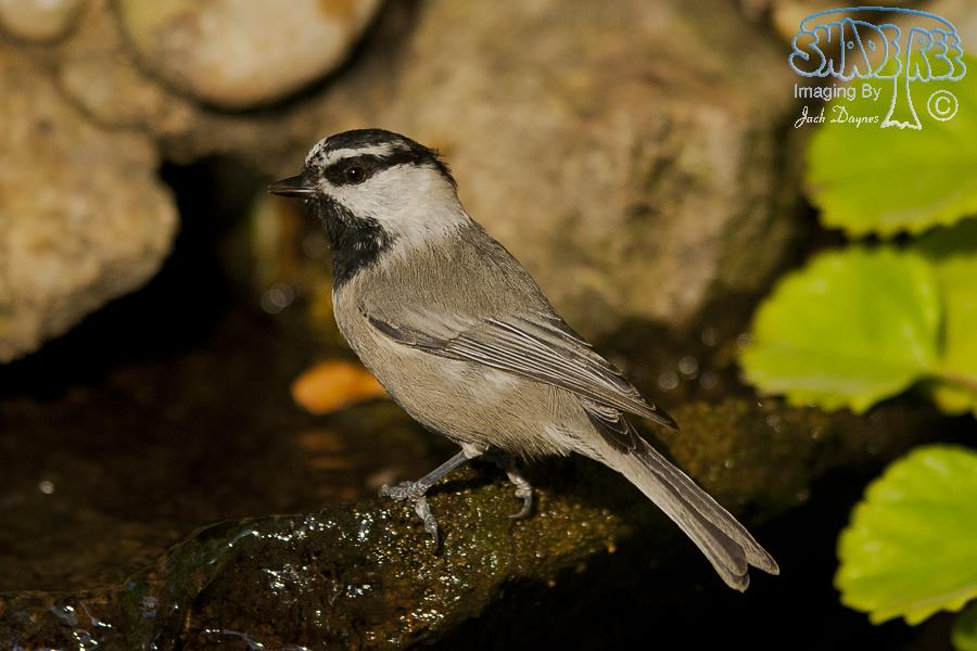 Mountain Chickadee - Poecile gambeli