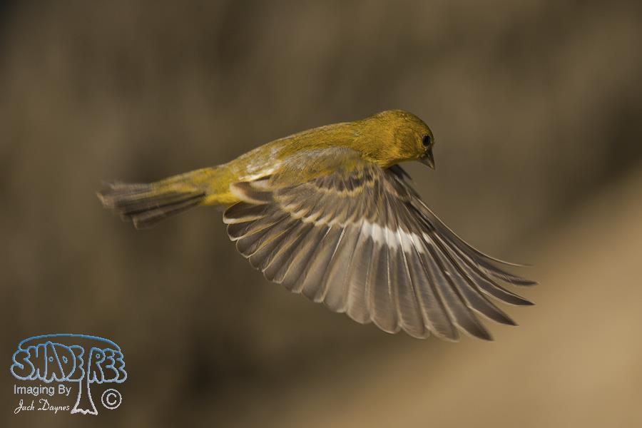 Lesser Goldfinch - Spinus psaltria