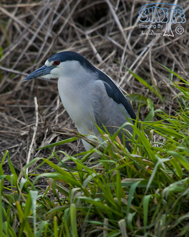 Black-Crowned Night-Heron - Nycticorax nycticorax